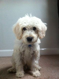 This is Ted , the beautiful mini Labradoodle (only 4 months old!)  Tracy, MV Customer