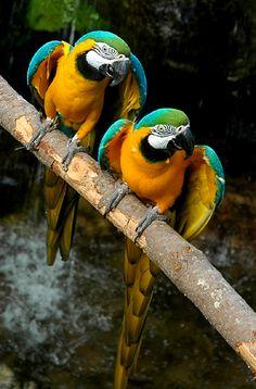 Christina Craft - Blue and Gold Macaws