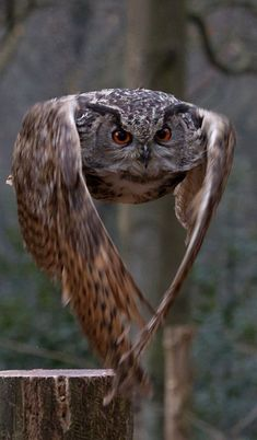 :) Owl~Bird of Prey ~ I've seen one going in for the kill in full flight close it's wings like this to squeeze between two close young trees and never taking it's eyes off the prey snatch it from the ground.:
