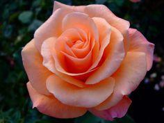 Beautiful Rose Flowers, Pretty Roses, Love Rose, Exotic Flowers, Colorful Flowers, Beautiful Flowers, Blossom Flower, Flower Art, Rose Reference