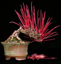 http://www.chinesebonsaigarden.com/category/chinese-bonsai/#