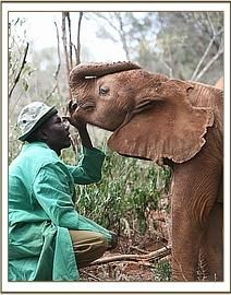 The Elephant Orphans' Project in Action - Kilaguni's story!    Kilaguni came to the Nursery in May 2009 when just 5/6 months old, minus his tail and with hindquarters and legs chewed by the hyenas who came to feast on the body of his poached mother. Thanks to our team of keepers, and the support of donors, Kilaguni's come a long way in our care http://www.sheldrickwildlifetrust.org/updates/updates.asp?ID=427