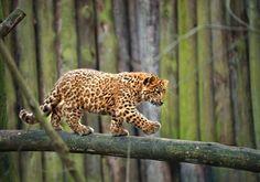 cat walking on tree branch.