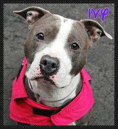 IVY. .. . .. URGENT. MANHATTAN. NY. Please Share/Adopt/Foster. …