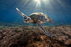 Let us read out some of the most interesting facts about what do sea turtles eat in the wild.