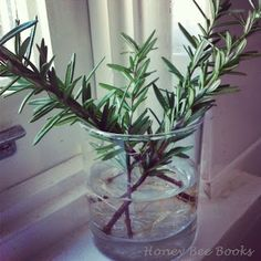 Want to grow your own Rosemary, the cheap & thrifty way? Rosemary cuttings! Place healthy sprigs in water and watch the roots grow-- great for kids!