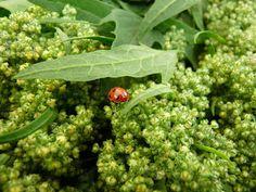 Living the Reasonably Good Life: The Quinoa Experiment