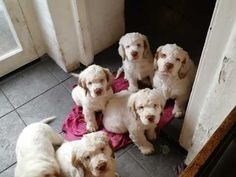 Excellent pedigree Kingsfordle Clumber Spaniel puppies for sale. All have been wormed and Flead. Info on the father ( Clumber Spaniel Puppy, Spaniel Dog, Spaniels, Spaniel Puppies For Sale, Dogs And Puppies, Devon, Rottweiler Puppies, Large Animals, Dog Care
