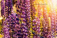 lupinos www.facebook.com/fotosjimenadelmarmol