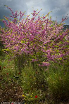 purple blossom tree Greece, Korinthos Argos Purple Trees, Purple Flowers, Rainy Weather, Blossom Trees, Argos, Sunny Days, Pictures, Photos, Greece
