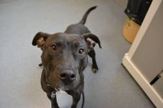 Onyx is an adoptable Pit Bull Terrier searching for a forever family near Bay Shore, NY. Use Petfinder to find adoptable pets in your area.