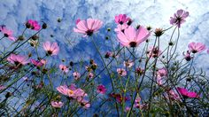 Cosmos 波斯菊 竹北白地 - Pinned by Mak Khalaf Nature Cosmos波斯菊竹北白地FlowerPainting by kuancc