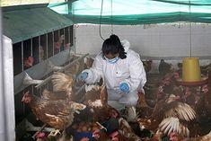 Aves de producción requieren bienestar