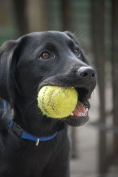 Mind Blowing Facts About Labrador Retrievers And Ideas. Amazing Facts About Labrador Retrievers And Ideas. Black Lab Puppies, Cute Puppies, Cute Dogs, Corgi Puppies, Top 10 Dog Breeds, Black Labrador Retriever, Labrador Retrievers, Labrador Dogs, Retriever Puppies