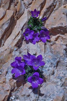 Rock Flowers, Tiny Flowers, Flowers Nature, Amazing Flowers, Purple Flowers, Beautiful Flowers, Alpine Flowers, Alpine Plants, Arrangements Ikebana