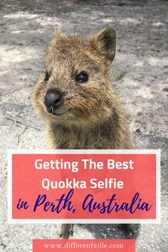Quokkas are the fluffy, smiley residents of Rottnest Island near Perth. Here's what you need to know to get the best selfie with one (from someone who took five years to manage it!). #quokka #australiananimals #perth #rottnestisland