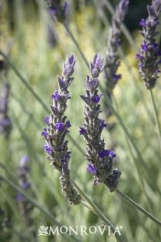 Monrovia's Goodwin Creek Gray Lavender details and information. Learn more about Monrovia plants and best practices for best possible plant performance.