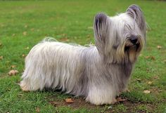 Skye Terrier Skyes are a medium sized dog with short legs, a long body, and a large head. The coat must be brushed several times a week to avoid uncomfortable mats and trimming is necessary to keep the hair from dragging along the ground. Skye Terrier, Terriers, Cute Dogs Breeds, Small Dog Breeds, Best Small Dogs, Terrier Dog Breeds, Terrier Puppies, Purebred Dogs, Medium Sized Dogs