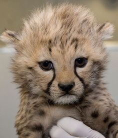 Baby Cheetah, Doesn't Look Very Happy, Probably Interrupted His Nap, Awww