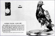 "Cher Ami ""Dear Friend,"" the most famous and beloved of carrier pigeons used during the war to relay messages and often for aerial reconnaissance (cameras were attached to their bodies). Cher Ami delivered 12 separate messages in 1918 and was shot down by German guns on his final mission. He died of his wounds. His body is on display in the Smithsonian. EC"