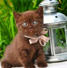 Rare brown kitty with blue eyes