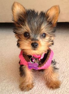Yorkie Puppies For Adoption, Baby Yorkie, Yorkie Puppy For Sale, Yorkie Dogs, Teacup Yorkie For Sale, Pomeranian Dogs, Teacup Pomeranian, Yorkies, Super Cute Puppies