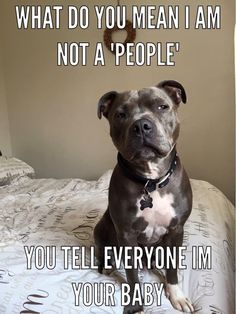 Pit Bull is a type of dog breed which are admire by Dog Lovers. Pit Bull have friendly nature and they will easily adapt yourself. This quality of Pit Bull is a reason why this breed is loved by everyone. Lets take a look at top 28 Dog Memes Pit Bull Funny Shit, Funny Dog Memes, Funny Animal Memes, Cute Funny Animals, Funny Animal Pictures, Funny Dogs, Pet Memes, Fun Funny, I Love Dogs