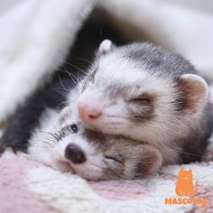 The Effective Pictures We Offer You About Exotic pets cage A quality picture can tell you many things. Baby Ferrets, Funny Ferrets, Pet Ferret, Hamsters, Cute Baby Animals, Animals And Pets, Funny Animals, Pet Cage, Tier Fotos