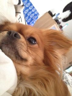 Beau my Chilier: Cavalier King Charles Spaniel/ Chihuahua Hybrid Mix Breed