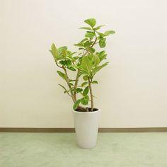 【観葉植物】フィカスアルテシーマ/インドアグリーン/開店・新築・引越・お祝いに!