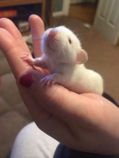 Hello adorable baby rattie :)