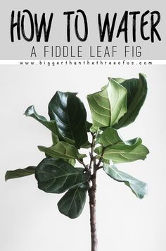 How to Water a Fiddle Leaf fig - get my tips for keeping a fiddle leaf fig tree alive plus where I place them in my home for light!