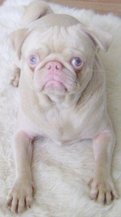 albino pug dog