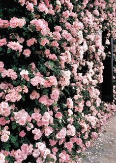 a wall of pink climbing roses