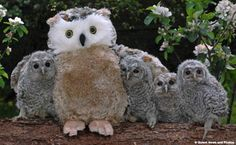 Orphaned owls find new cuddly-toy mum!    An adorable group of orphaned baby owls have been adopted by a silly-looking toy owl, after they were found on the brink of death in the wild. The tiny tawny owl chicks burrow in under the fluffy toy's wings to keep warm after they were separated from their own mothers. The chicks, all aged between just four and eight weeks, faced certain death as they fended for themselves alone in the wild but are now recovering in an animal hospital.