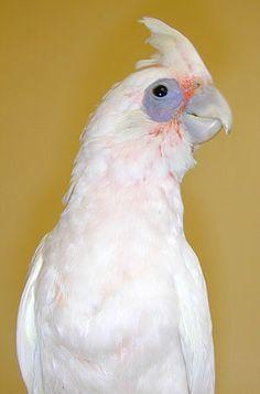 Cockatoo - Bare Eyed Australian Birds, Kinds Of Birds, Downy, Cockatoo, Budgies, Beautiful Birds, Painting Inspiration, Pet Birds, Animal Kingdom