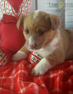 #WelshCorgi #Pembroke #Charming #PinterestPuppies #PuppiesOfPinterest #Puppy #Puppies #Pups #Pup #Funloving #Sweet #PuppyLove #Cute #Cuddly #Adorable #ForTheLoveOfADog #MansBestFriend #Animals #Dog #Pet #Pets #ChildrenFriendly #PuppyandChildren #ChildandPuppy #LancasterPuppies www.LancasterPuppies.com