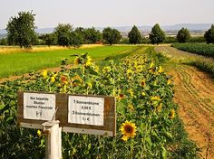 """""""Only paid-for flowers make friends.""""  Cut-your-own sunflowers in Stuttgart, Germany./enclos*ure"""