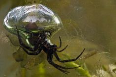 Diving Bell Spider - Argyroneta aquatica - This is the only known spider in the world that lives entirely underwater. Like other arachnids, it must breathe air, but it provides its own supply by forming a bubble, which it holds by hair on its legs and abdomen