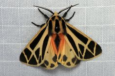 tiger moth from urtica on flickr .. i love how art deco it is...   http://www.flickr.com/photos/urtica/8419374648/in/contacts/
