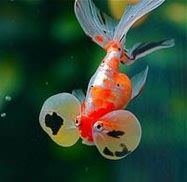 Bubble eye goldfish are fancy types that have upward pointing eyes that have fluid filled sacks underneath.