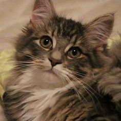 #Norwegianforestcat #cat