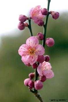 Plum Blossom, China
