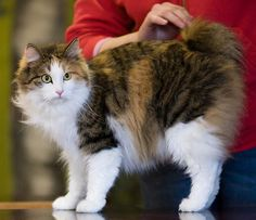 Here are some claw-some tips about adopting a kitty from a shelter and purchasing a pedigree from a trusted breeder. Cats Bus, Cats And Kittens, Bobtail Japonais, Exotic Cat Breeds, Purebred Cats, Manx Cat, Bobtail Cat, Cat Species, Cat Reference