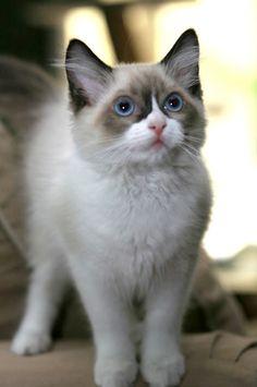 This looks like Grumpy Cat aka Tardar Sauce!  It really is spelled that way!!!