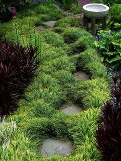 Monkey Grass, Ophiopogon Japonicus, Evergreen, No Mowing, Great for Borders, Pots and Accents