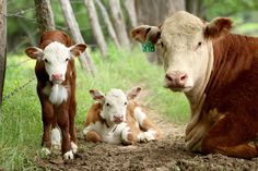 Types Of Farming, Hereford Cattle, Western Photography, Beef Cattle, Farms Living, Mom And Baby, Livestock, Farm Life, Cows