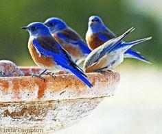 Western Bluebirds photo by Linda Compton