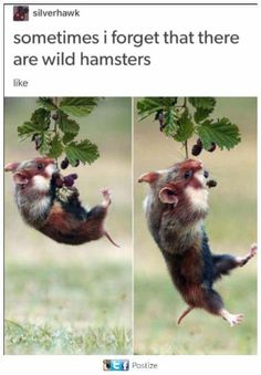 Wild, Wild Hamsters - World's largest collection of cat memes and other animals Funny Animal Memes, Cute Funny Animals, Funny Animal Pictures, Cute Baby Animals, Funny Cute, Animals And Pets, Hilarious, Cat Memes, Farm Animals