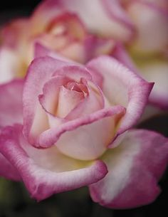 California Dreamin' Hybrid Tea Rose - Very Fragrant